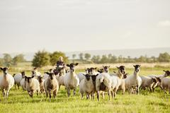 A flock of sheep alert with their heads up and a man on a quadbike. Stock Photos