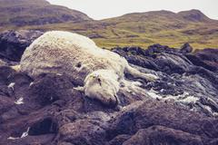Dead and decomposing sheep in mountain landscape - stock photo