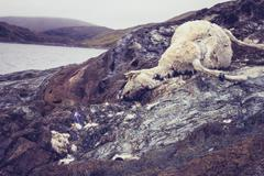 Dead and decomposing sheep near water - stock photo