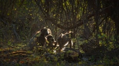 Chacma Baboons grooming,South Africa Stock Footage