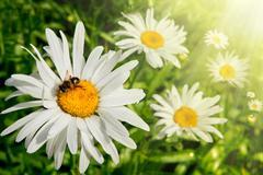 Springtime and daisies - stock photo