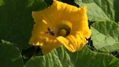honey bee  in beautiful pumpkin blossom - stock footage