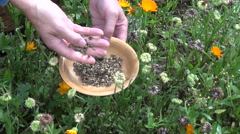 Gardener herbalist in autumn pick calendula marigold seeds Stock Footage