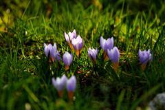 Germany, Finsterbergen, crocus in spring, Stock Photos
