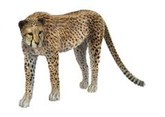 Big Cat Cheetah - stock illustration