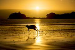 Australia, Silhouette of kangaroo on beach - stock photo