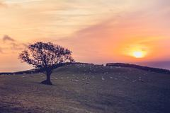 Sunset over field with sheep in the distance - stock photo