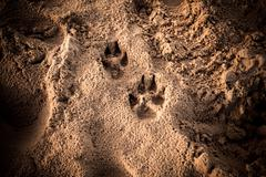 Dog's foot prints in the sand - stock photo