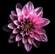 Surreal dark chrome violet flower dahlia macro isolated on black Stock Photos