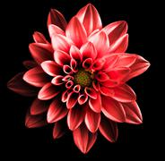 Surreal dark chrome red flower dahlia macro isolated on black Stock Photos