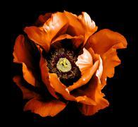 Surreal dark chrome orange peony flower macro isolated on black Stock Photos