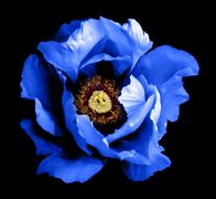 Surreal dark chrome blue peony flower macro isolated on black - stock photo