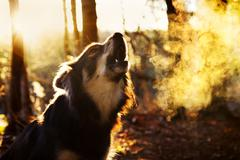 Portrait of barking dog Kuvituskuvat