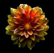 Surreal dark chrome gold and red flower dahlia macro isolated on black Stock Photos