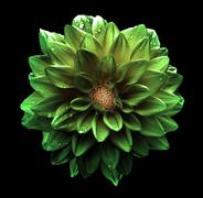 Surreal dark chrome green flower dahlia macro isolated on black - stock photo