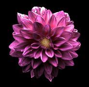 Surreal dark chrome pink flower dahlia macro isolated on black Stock Photos