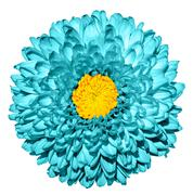 Surreal dark cyan chrysanthemum (golden-daisy) flower with yellow heart macro Stock Photos