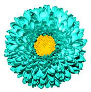 Surreal dark turquoise chrysanthemum (golden-daisy) flower with yellow heart  - stock photo