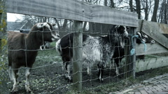 Goats in dutch touristic town. Marken, The Netherlands Stock Footage