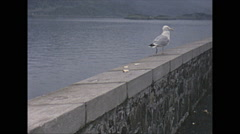 Vintage 16mm film, 1965, Scotland, seagull on stone wall along the sea Stock Footage