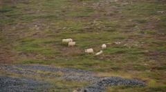 ICELAND sheep Schaf meadow Weide rain Regen Stock Footage