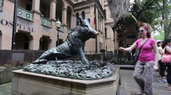 Sydney hospital pig or boar touched by tourist Stock Footage