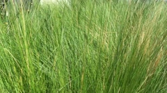 Green grass swaying in the wind Stock Footage