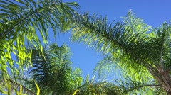 Sunny palm tree in gentle tropical breeze. Stock Footage