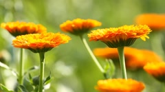 Flower of calendula on the grass - stock footage