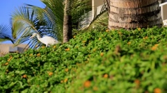 White bird, cattle egret, tropical environment, Sunny day Stock Footage