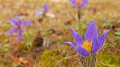 Spring flowers chamber Stock Footage