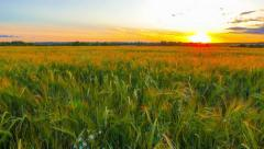Field of rye in the sunset Stock Footage