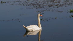 Swan on the pond Stock Footage
