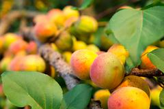 Ripe apricots Stock Photos