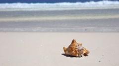 Seashell on caribbean sandy beach Stock Footage