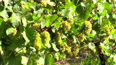 White grape clusters hanging on vines in Germany Stock Footage