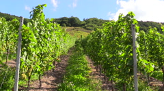 Rows of wine grapes vineyard Germany Stock Footage
