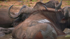 Herd of Cape Buffalo wallowing in waterhole Stock Footage