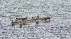 Egyptian Geese Stock Footage