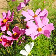Pink daisy flower - stock photo