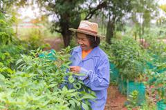 Senior farmer woman with picking chili from vegetable garden - stock photo