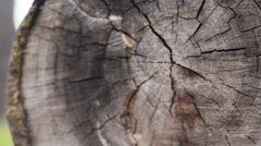 Stock Video Footage of closeup larch wood cut down a big old tree, more than 100 years, annual rings