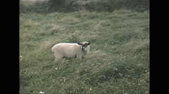 Vintage 16mm film, 1965, North Ireland sheep and cattle #1 Stock Footage