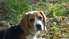 Playfully young Beagle curious, intrigued, looking auround - Slow motion Stock Footage