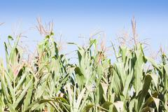 Green field of corn growing up - stock photo