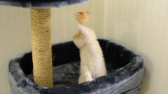 Beige kitten playing with a toy and  scratching post Stock Footage