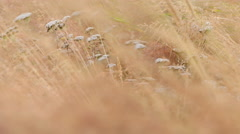 ICELAND grass Gras wind Stock Footage