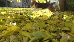 Crazy, Playfully young Beagle dog running in garden, sunny autumn - slow motion Stock Footage