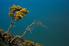 Gorse growing on cliffside - stock photo