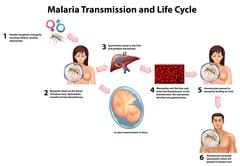 Malaria Transmission and Life cycle - stock illustration